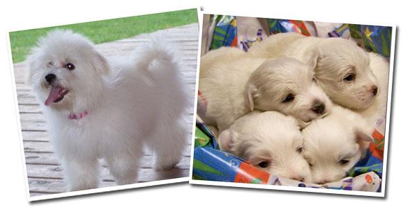 coton de tulear puppies for sale coton de tulear breeders and coton